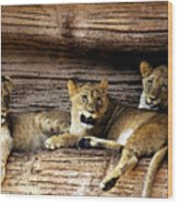 3 Cubs Wood Print