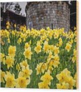 Daffodils And Bar Walls, York, Uk. Wood Print