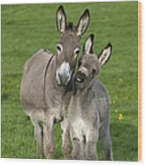 Donkey Mother And Young Wood Print