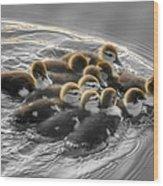 Duckling Wake Brown Wood Print