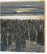 Emperor Penguin Aptenodytes Forsteri Wood Print by Pete Oxford