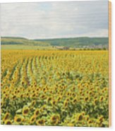 Field With Sunflowers Wood Print
