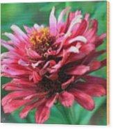 Fuchsia Pink Zinnia From The Whirlygig Mix Wood Print