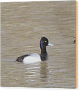 3 Greater Scaup  4060 Wood Print