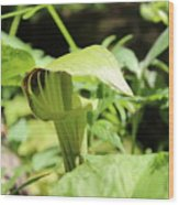 Jack-in-the-pulpit Wood Print