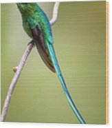Long Tailed Sylph Rio Blanco Manizales Colombia Wood Print