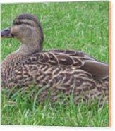 New Zealand - Female Mallard Duck Wood Print