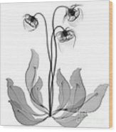 Pitcher Plant Flowers, X-ray Wood Print