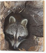 Raccoon Procyon Lotor Wood Print