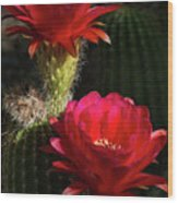 Red Torch Cactus  Wood Print