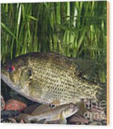 Rock Bass Wood Print