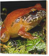 Rosy Ground Frog Wood Print