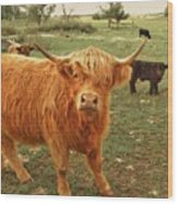 Scottish Highlander With Big Bangs Wood Print