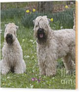 Soft-coated Wheaten Terriers Wood Print