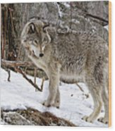 Timber Wolf In Winter Wood Print
