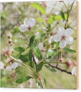 White Cherry Flower Wood Print