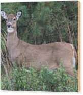 White Tailed Deer Calverton New York Wood Print