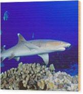 Whitetip Reef Shark Wood Print