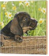 Wire-haired Dachshund Puppy Wood Print