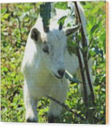 Young Goat On A Farm Wood Print