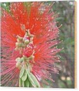 Australia - Red Callistemon Flower Wood Print