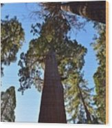 Giant Sequoia Trees Wood Print