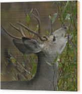 3x3 Buck Mule Deer-signed-#9716 Wood Print
