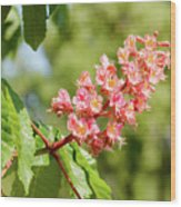 Aesculus X Carnea, Or Red Horse-chestnut Flower Wood Print