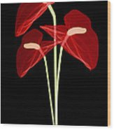 Anthurium Flowers, X-ray Wood Print