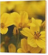 Bidens Named Peter's Gold Carpet Wood Print