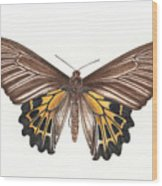 Birdwing Butterfly Wood Print