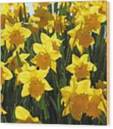 Daffodils In The Sunshine Wood Print