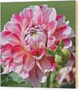 Dahlia Named Hawaii Wood Print