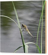 Four-spotted Chaser Wood Print