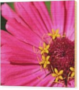 Fuchsia Pink Zinnia From The Whirlygig Mix Wood Print