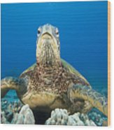 Hawaii, Green Sea Turtle Wood Print