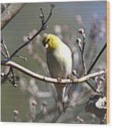 Img_0001 - American Goldfinch Wood Print