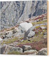 Mountain Goats On Mount Bierstadt In The Arapahoe National Fores Wood Print