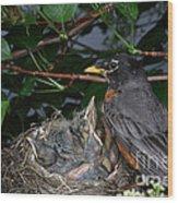Robin Feeding Its Young Wood Print