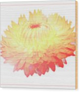 Strawflower Wood Print