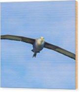 Waved Albatross Flying In Galapagos Wood Print