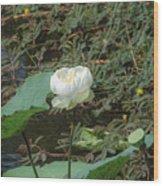 White Lotus Flower Flower Lotus Nature Summer Green Plant Blossom Asian Wood Print