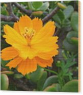 Australia - Cosmos Carpet Yellow Flower Wood Print