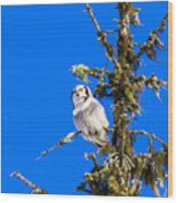 Hawk Owl Wood Print