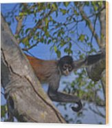 48- Capuchin Monkey Wood Print