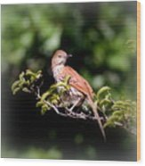 4979 - Brown Thrasher Wood Print