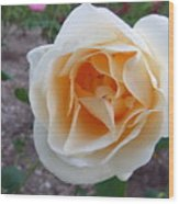 Australia - White Rose Flower Wood Print