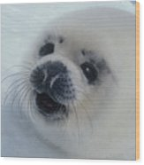 Baby Harp Seal On Hudson Bay Wood Print