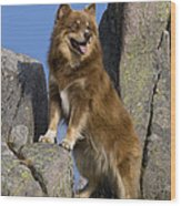 Finnish Lapphund Wood Print