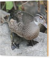 Juvenile Male Wood Duck Wood Print